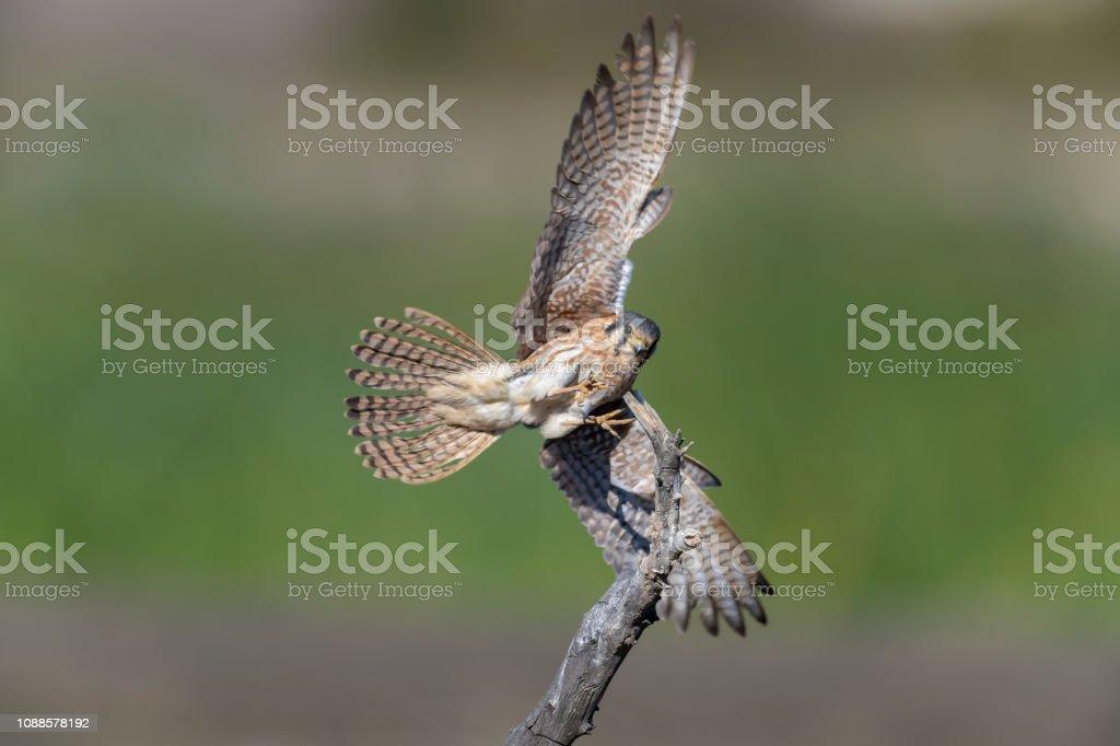 Female American Kestrel Landing stock photo