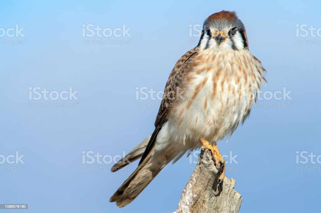 Female American Kestrel Looking Staight at the Observer stock photo