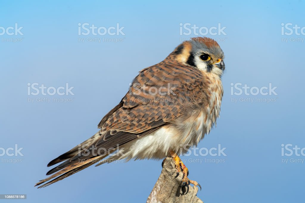 Female American Kestrel Perching and Flying stock photo