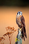 A perched female American Kestrel looks for food in a meadow in Montana.