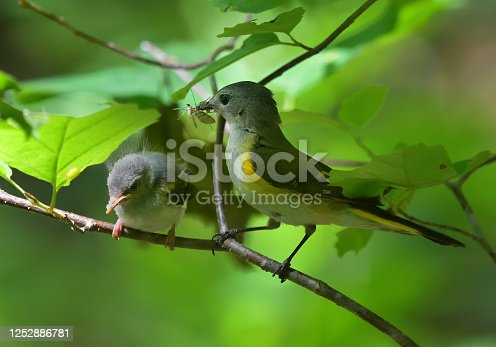 Female American redstart about to feed a fly to her hungry fledgling. They are perched in witch hazel, in the Connecticut woods. This migratory songbird is a warbler that breeds mainly in the eastern U.S. and much of Canada, and winters in Central America, the West Indies, and northern South America.