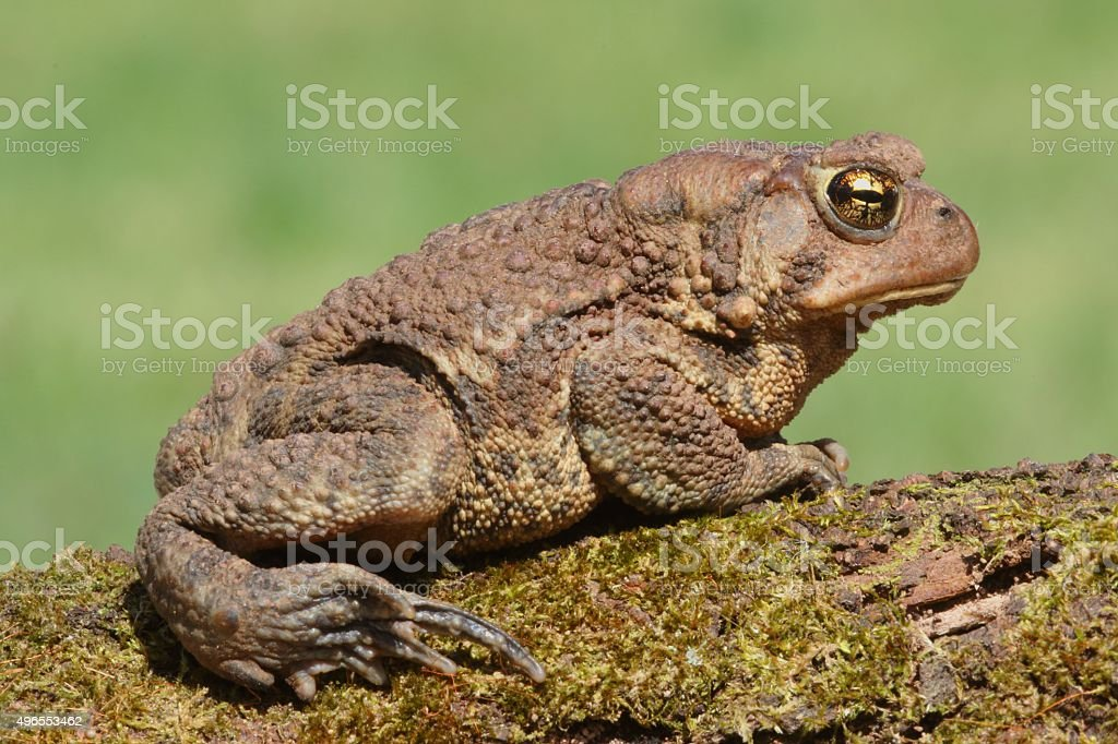 Female American Toad (Bufo americanus) stock photo
