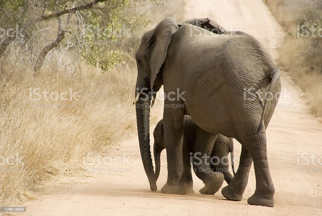 Female & Calf African Elephant (Loxodonta africana) crossing the Road royalty-free stock photo