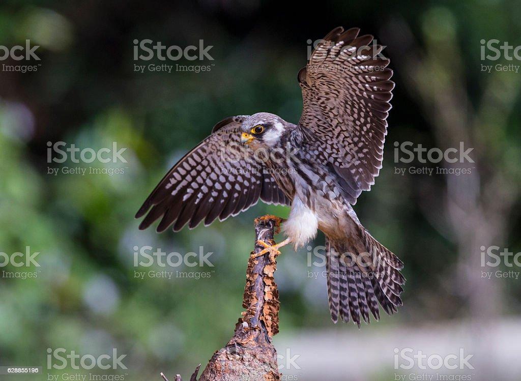 Female Amur falcon (Falco amurensis) Very Rare Passage Migrant – Foto