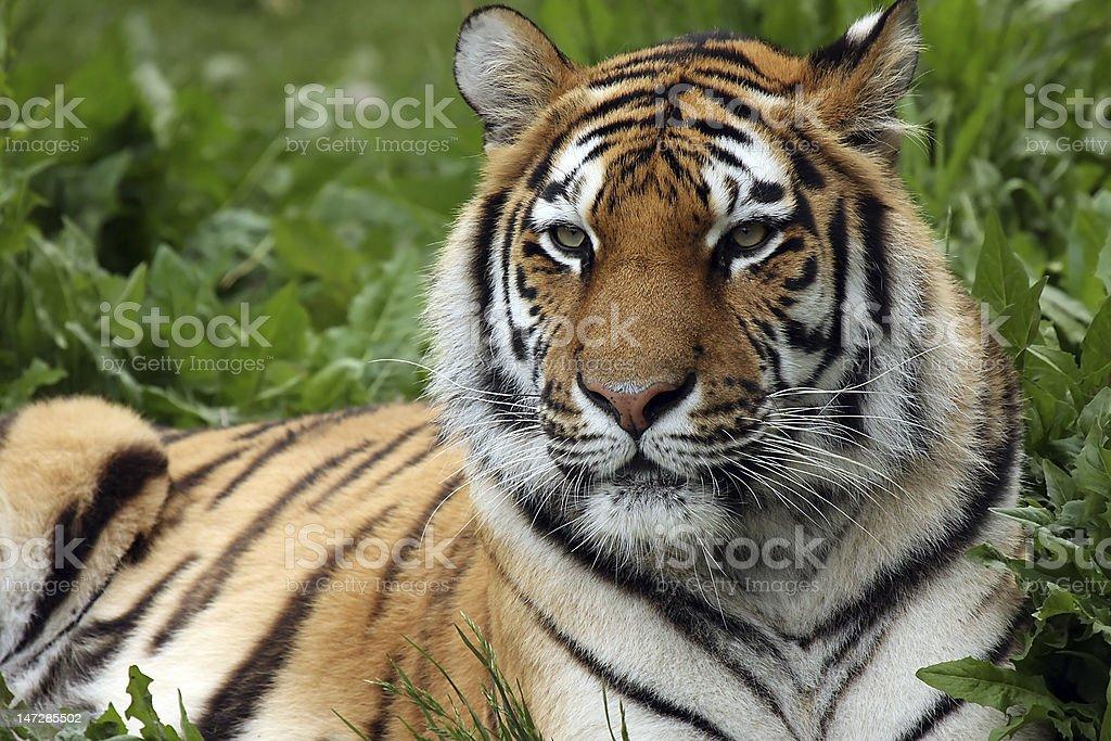 Female Amur Tiger stock photo