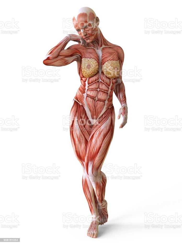 Female Anatomy And Muscles Body Without Skin Isolated On White Stock