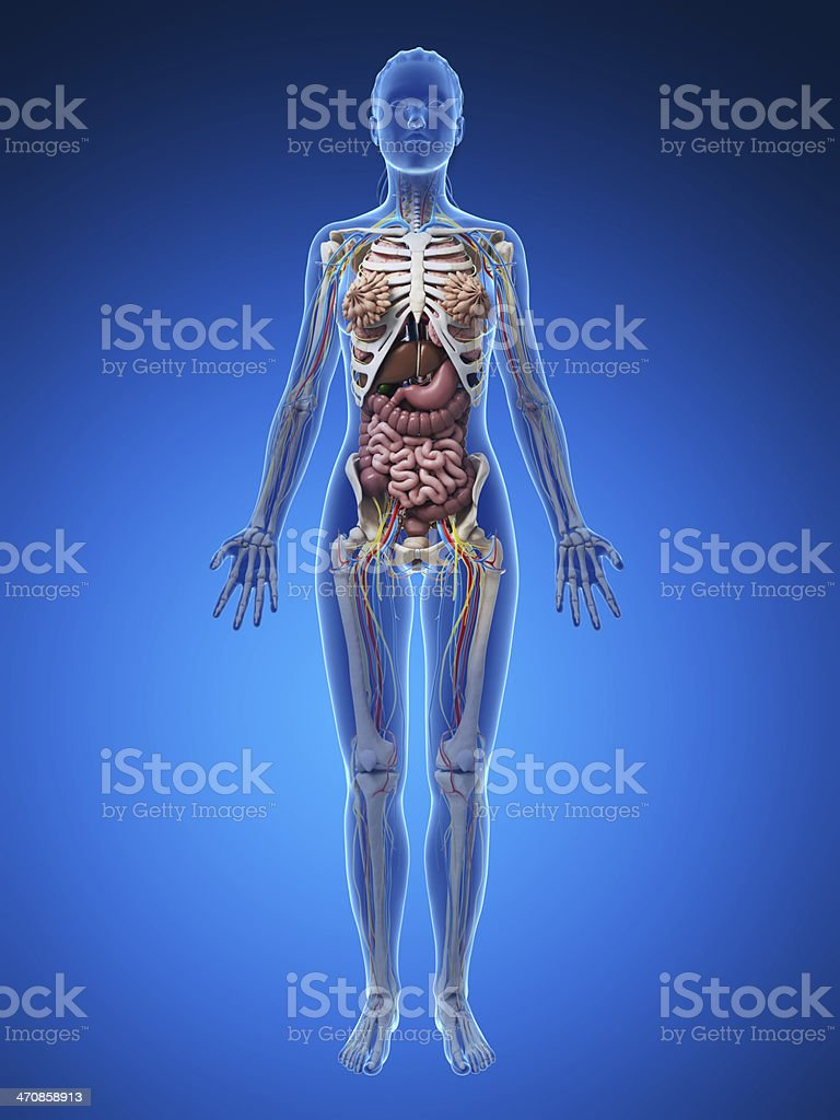 Human anatomy full body