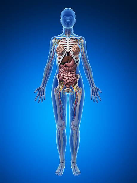 female anatomy - full body stock photo