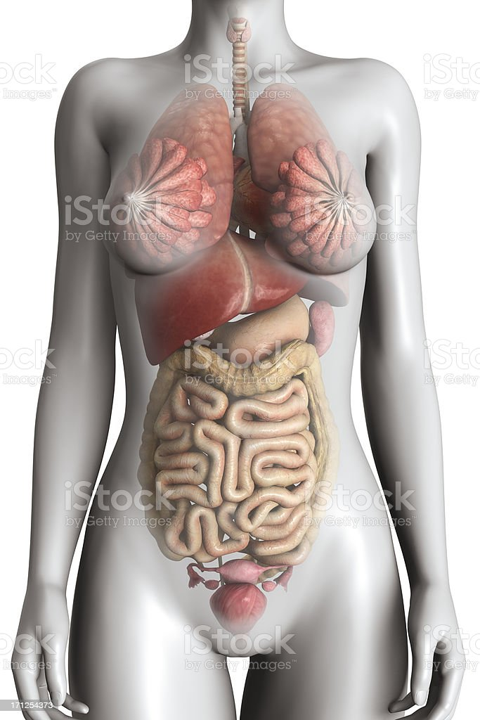 Female Anatomy Model Stock Photo & More Pictures of Abdomen | iStock