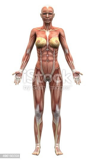 496193187istockphoto Female Anatomy Muscles - Anterior view 496193203