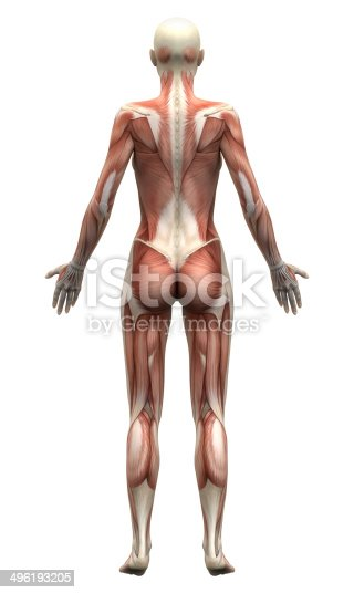 496193187istockphoto Female Anatomy Muscles - Posterior view 496193205