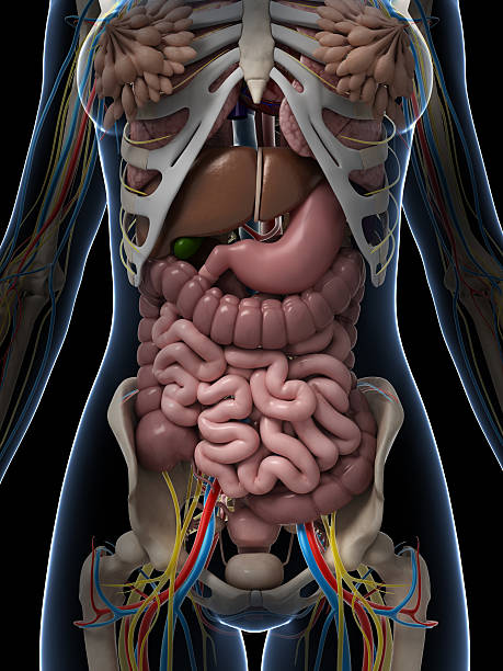 female anatomy - internal organ stock photos and pictures
