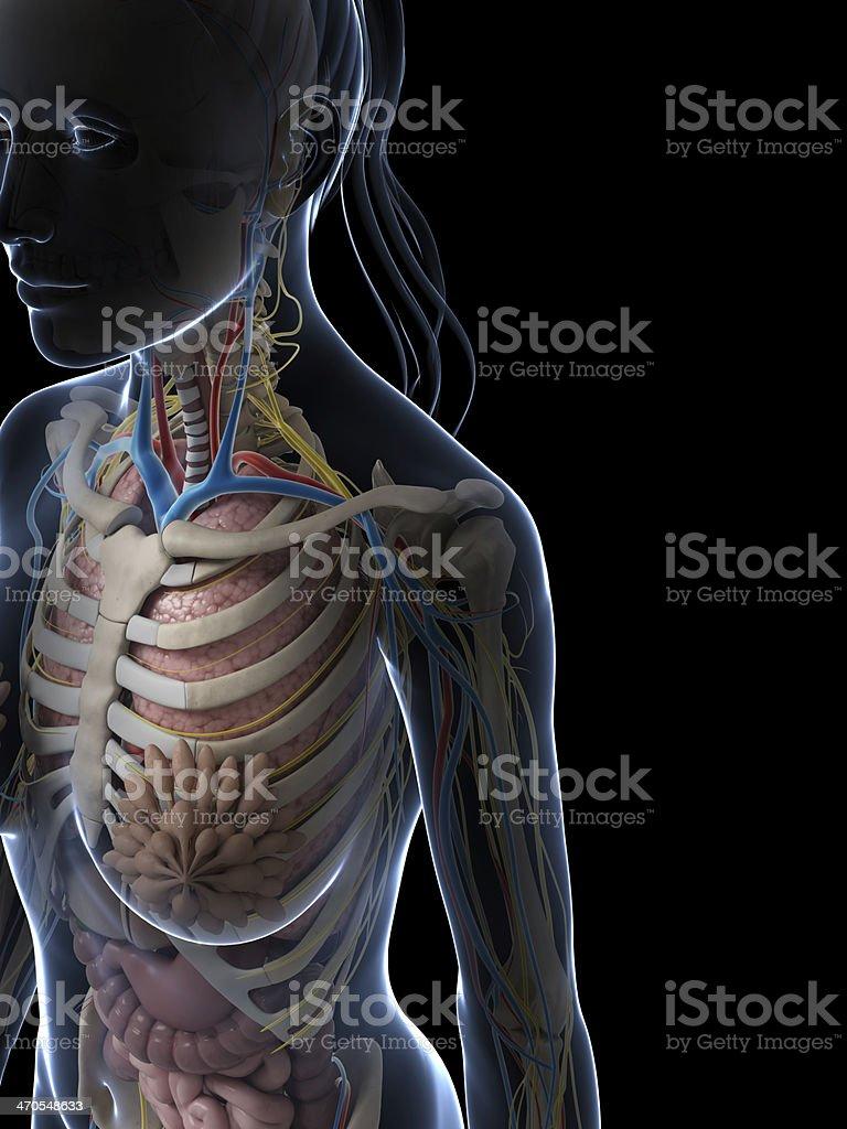 Anatomía Hembra Stock Foto e Imagen de Stock 470548633 | iStock