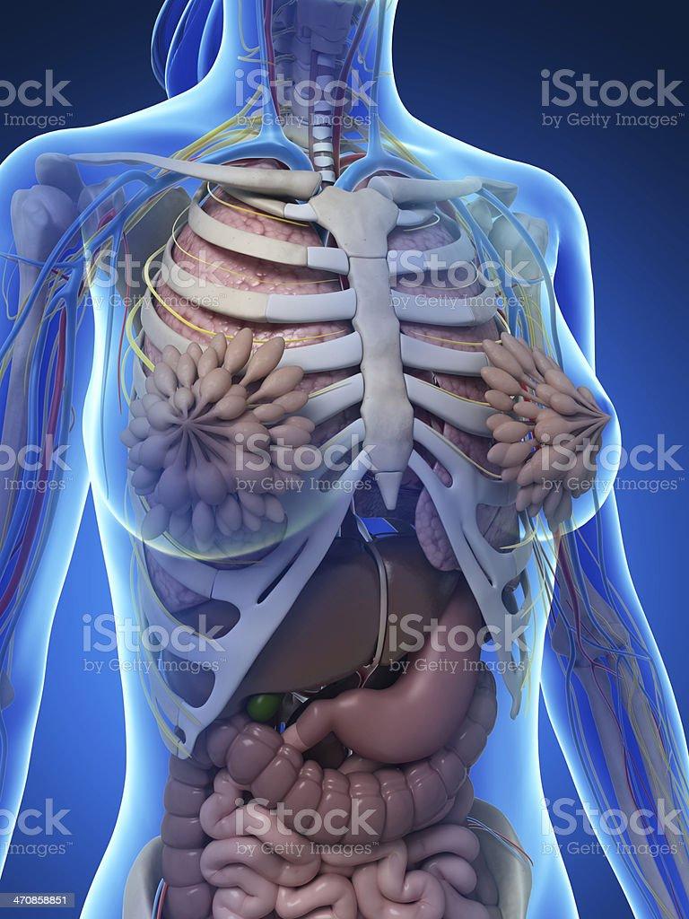 Female Anatomy Upper Body Stock Photo & More Pictures of Abdomen ...