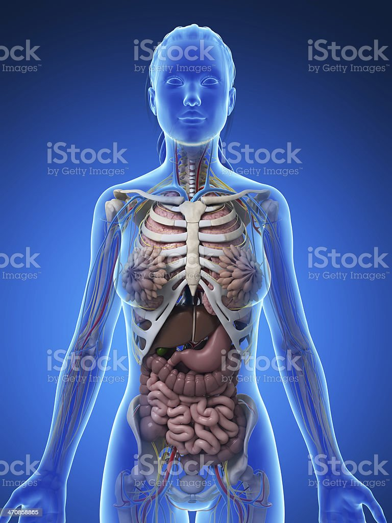 Female Anatomy Upper Body Stock Photo & More Pictures of Abdomen ...