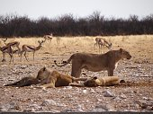 Photo of a lioness oin the Etosha National Park in Namíbia.