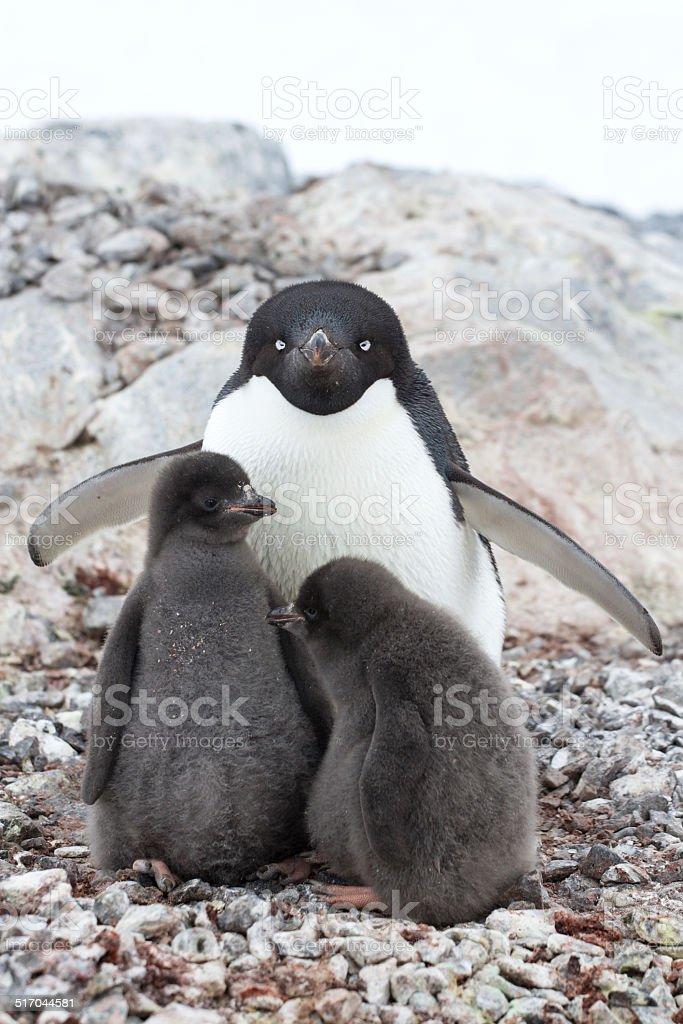 female and two chicks Adelie penguin sitting in a nest stock photo