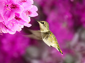 Female Anna's Hummingbird (Calypte anna) in flight feeding from Rhododendron flowers  against pink blurred floral background.