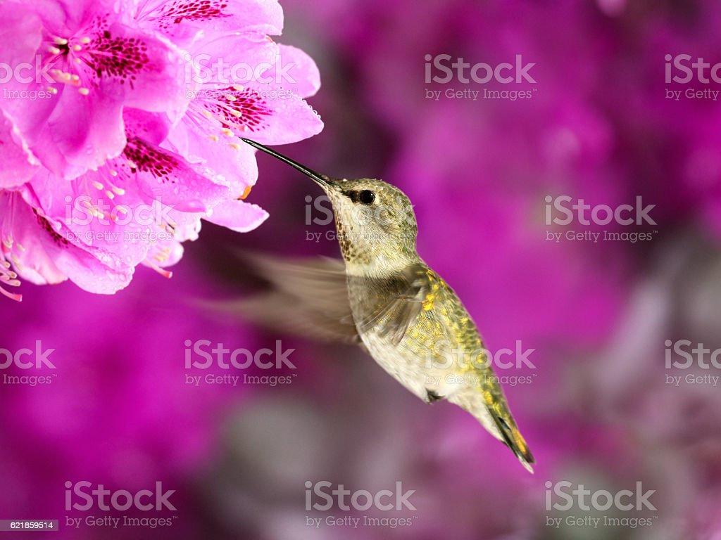 Female Anna's Hummingbird in flight feeding from Rhododendron flowers – Foto