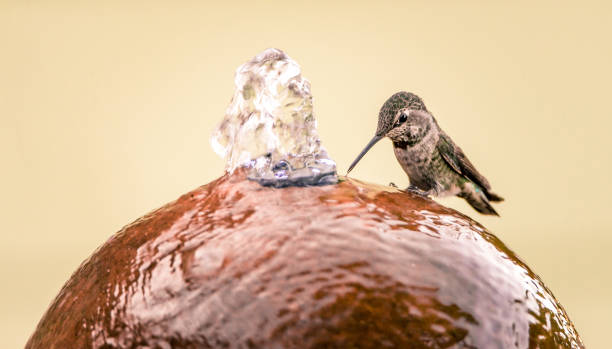 Female Anna's Hummingbird perches on the side of a water fountain to drink stock photo