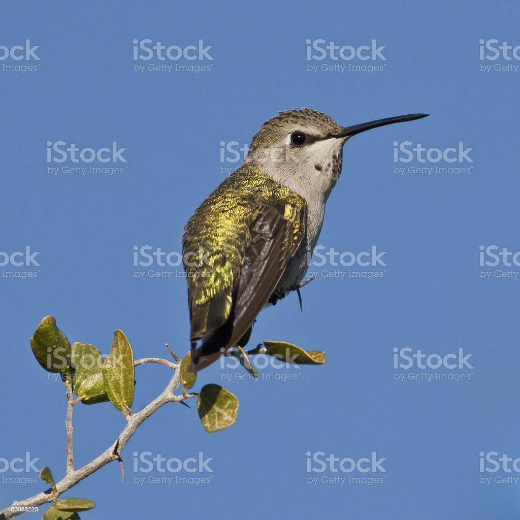 Female Anna's Hummingbird stock photo