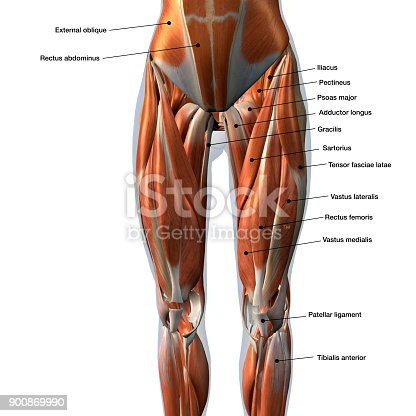istock Female Anterior Leg Muscles Labeled on White 900869990