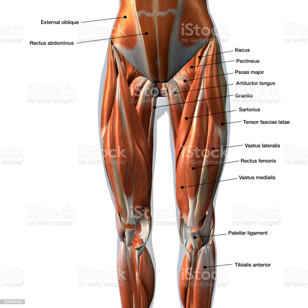 Female Anterior Leg Muscles Labeled on White stock photo