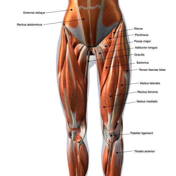 La anterior de musculos pierna recto