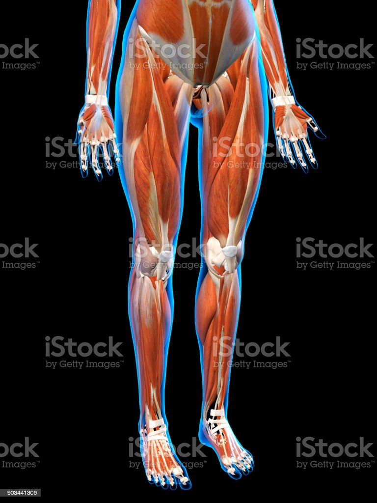 Female Anterior Leg Muscles On Black Background Stock Photo More