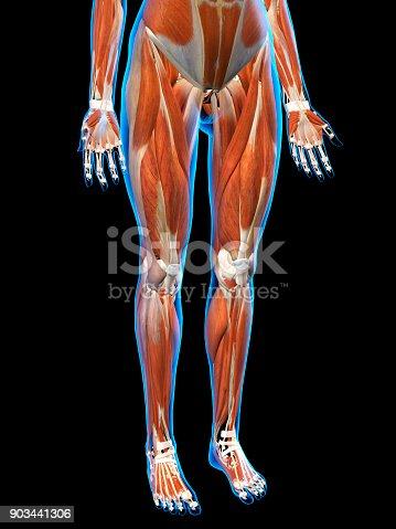 istock Female Anterior Leg Muscles on Black Background 903441306
