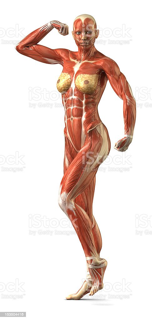 Female anterior muscular sytem anatomy in body-builder pose stock photo