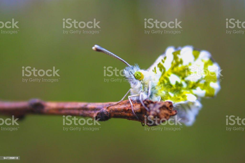 Female Anthocharis cardamines butterfly sitting on Plantago lanceolata Ribwort Plantain . stock photo