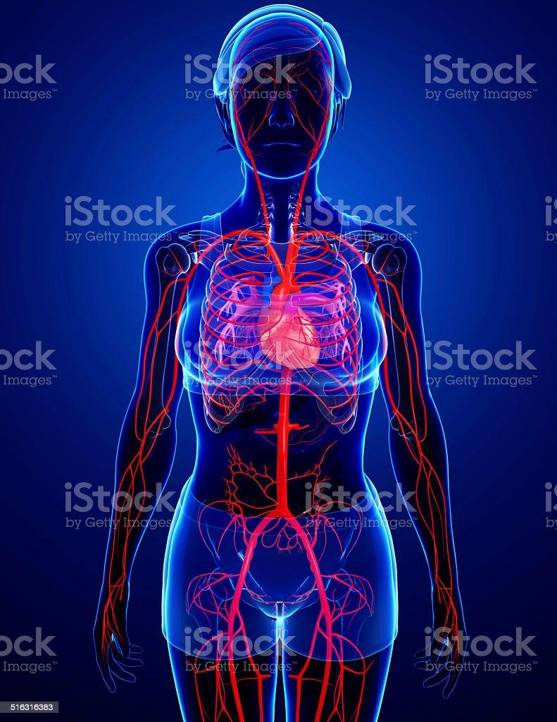 Female arteries artwork stock photo
