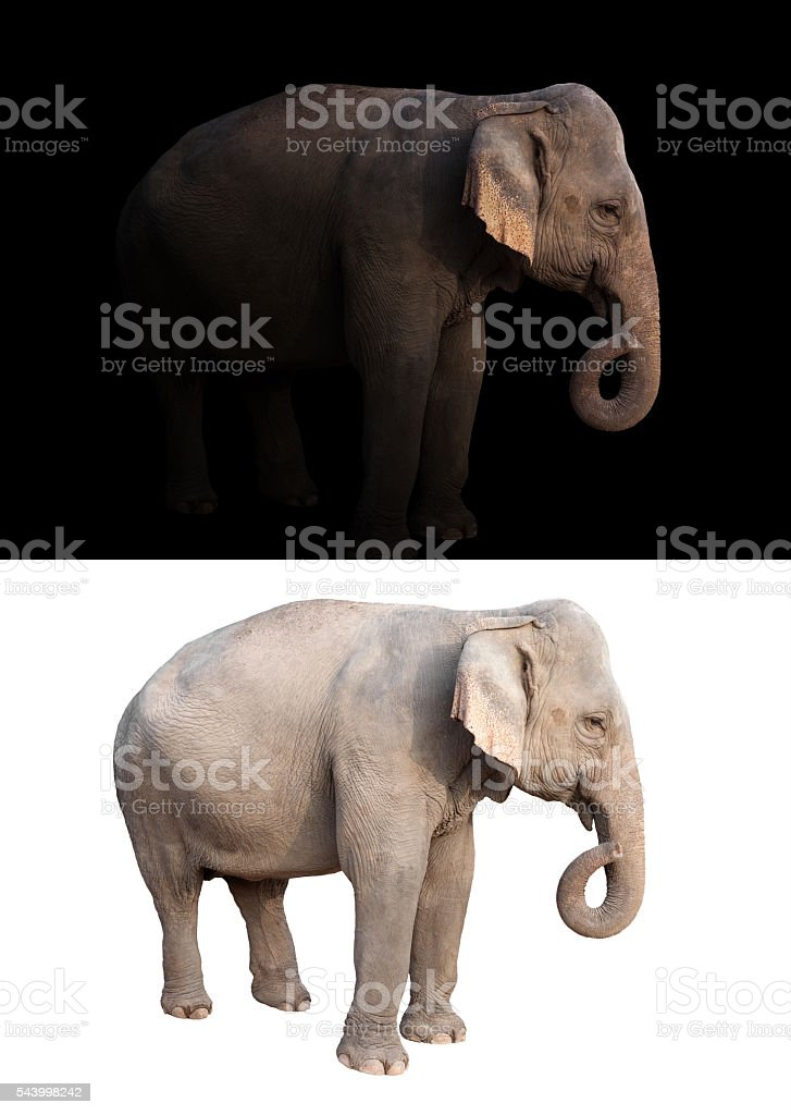 female asia elephant in the dark and white background stock photo