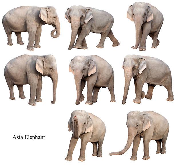 female asia elephant isolated stock photo