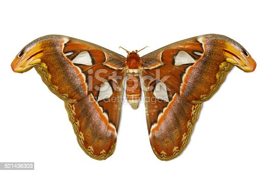 istock Female attacus atlas moth 521436303
