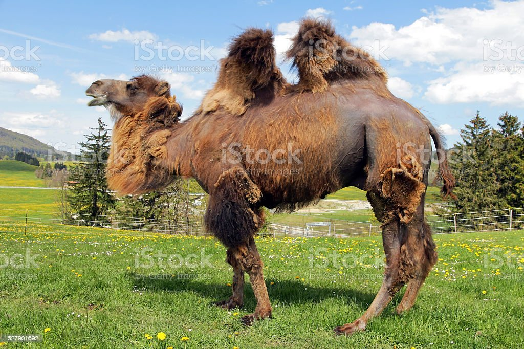 female Bactrian camel stock photo