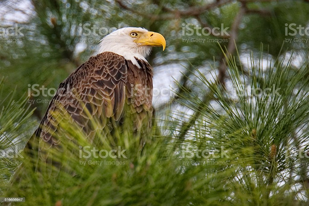 Female Bald Eagle stock photo