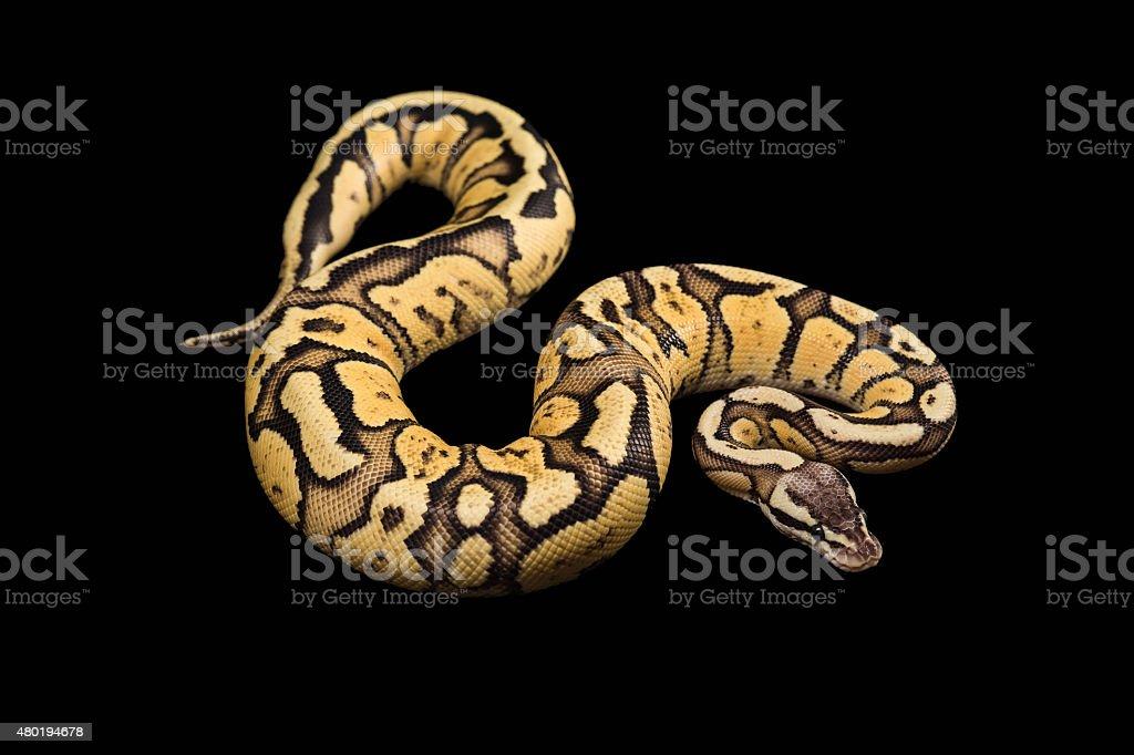 Kobieta piłką Python. Świetlik Morph lub mutacja – zdjęcie