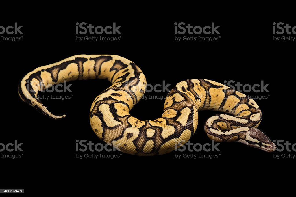 Female Ball Python. Firefly Morph or Mutation stock photo