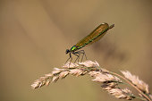 Dragonfly.Dragonflies.A rare species of dragonfly found in a garden in a tropical fotest in india.