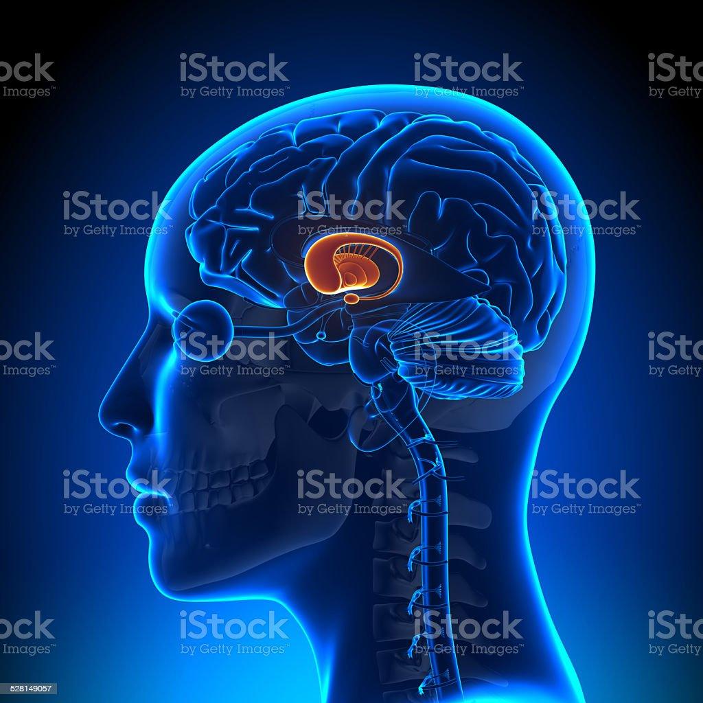 Female Basal Ganglia - Anatomy Brain stock photo