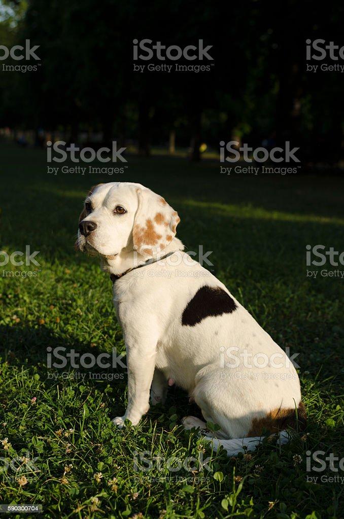 Female beagle waiting for her owner Стоковые фото Стоковая фотография