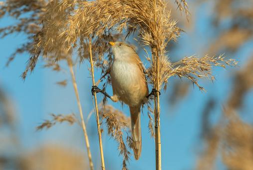 Female bearded reedling (Panurus biarmicus) eating the seeds of reed.