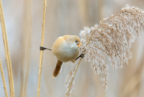 Female bearded reedling (Panurus biarmicus) balancing between two reed stalks for eating the seeds of reed.
