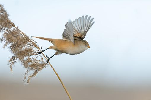Female bearded reedling (Panurus biarmicus) starting to fly.