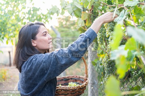 Female beauty harvesting grapes in vineyard