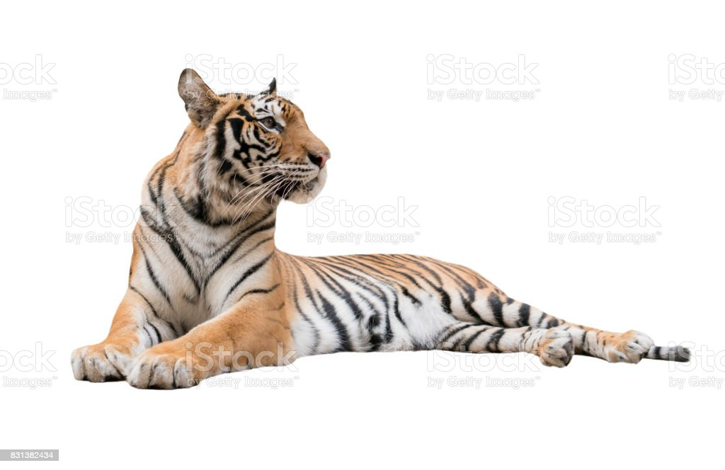 female bengal tiger isolated stock photo