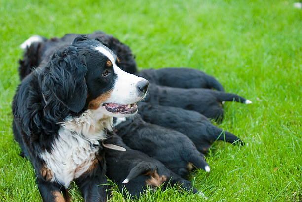 Female bernese mountain dog with her puppies. stock photo