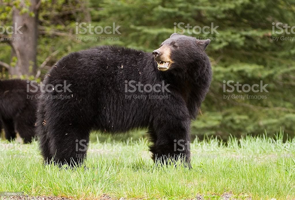 Female Black Bear stock photo